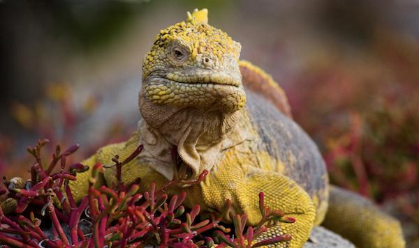 Photo of a Galapagos land iguana, endemic to the Galapagos islands, Ecuador with Pie Experiences